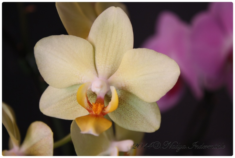 Les Orchidées - Page 2 Cadre300