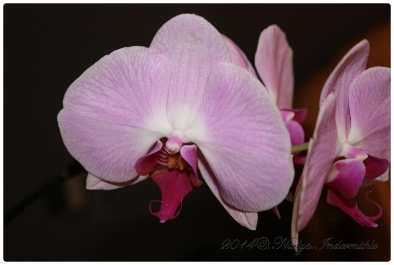 Les Orchidées Cadre306