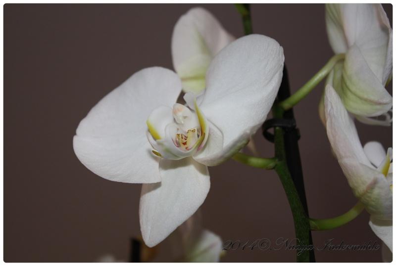 Les Orchidées Cadre308