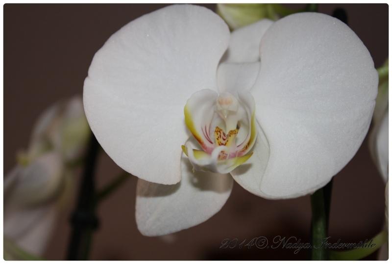 Les Orchidées Cadre309