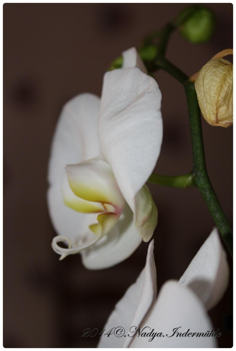 Les Orchidées Cadre310