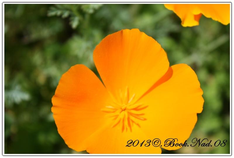 Le pavot de californie Cadre346