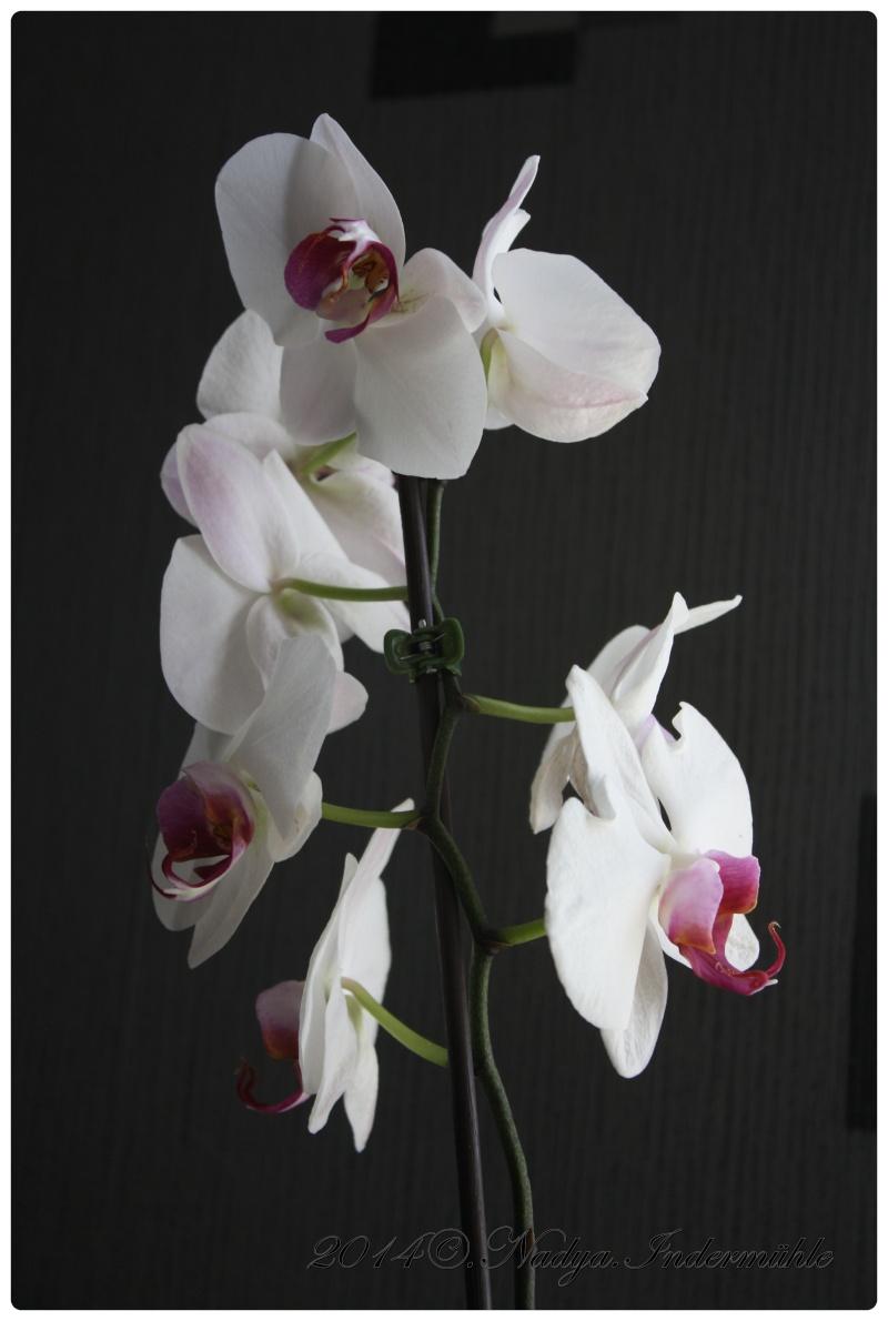 Les Orchidées - Page 3 Cadrer12