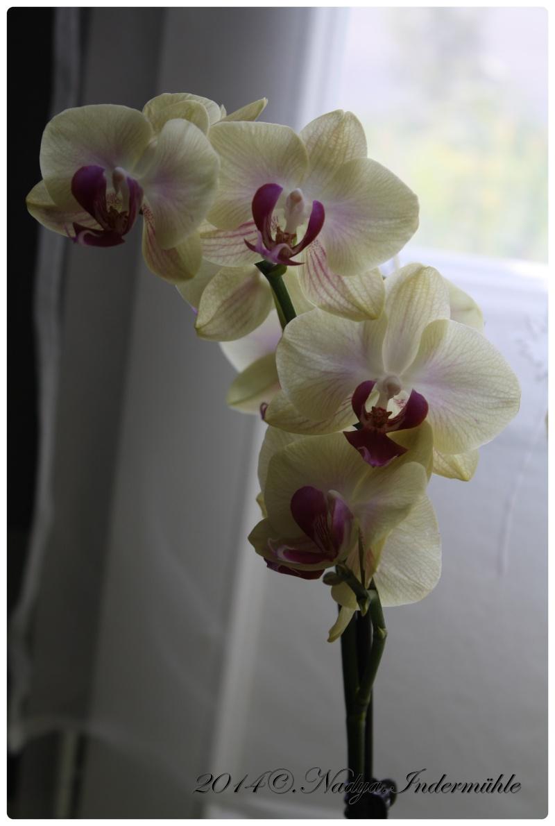 Les Orchidées - Page 3 Cadrer13