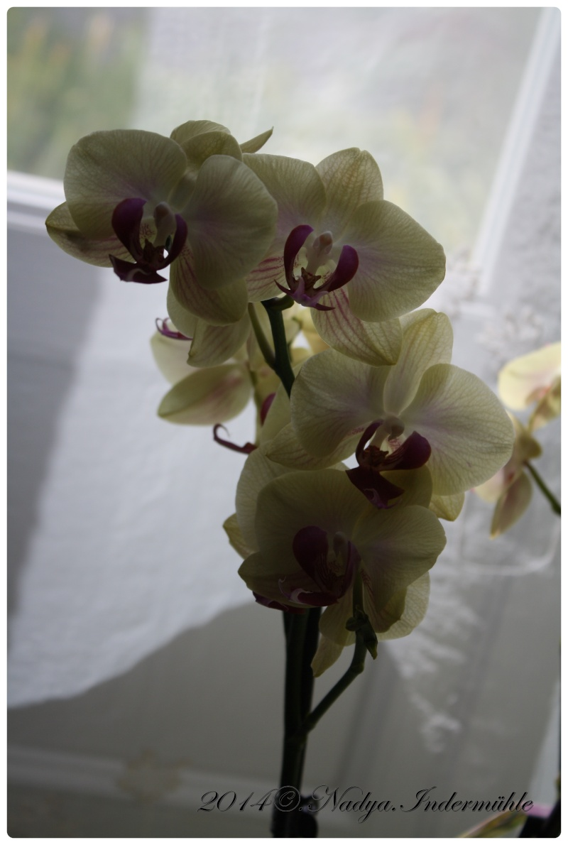Les Orchidées - Page 3 Cadrer14
