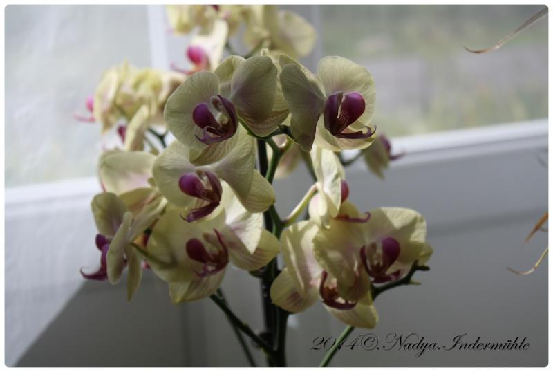 Les Orchidées - Page 3 Cadrer16