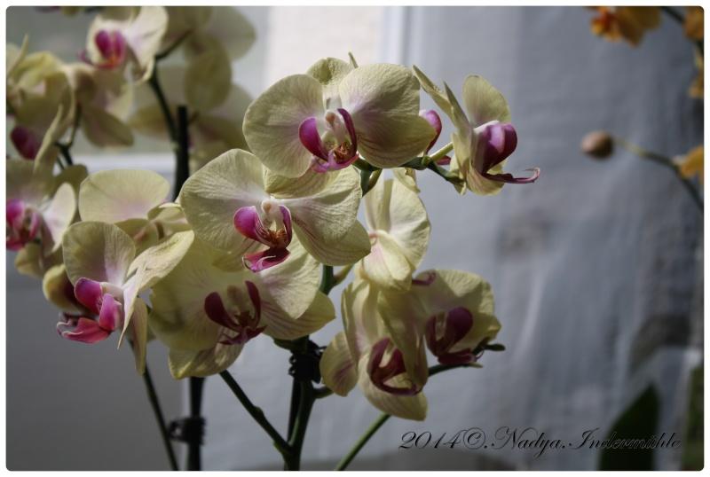 Les Orchidées - Page 3 Cadrer17
