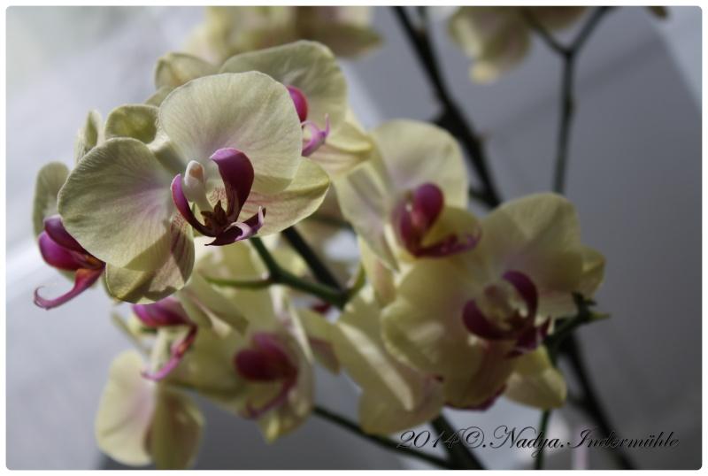 Les Orchidées - Page 3 Cadrer18