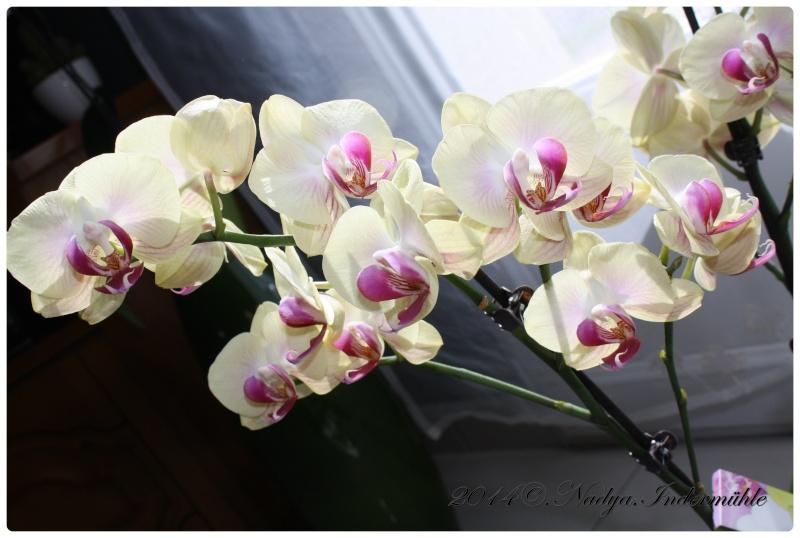Les Orchidées - Page 2 Cadrer19