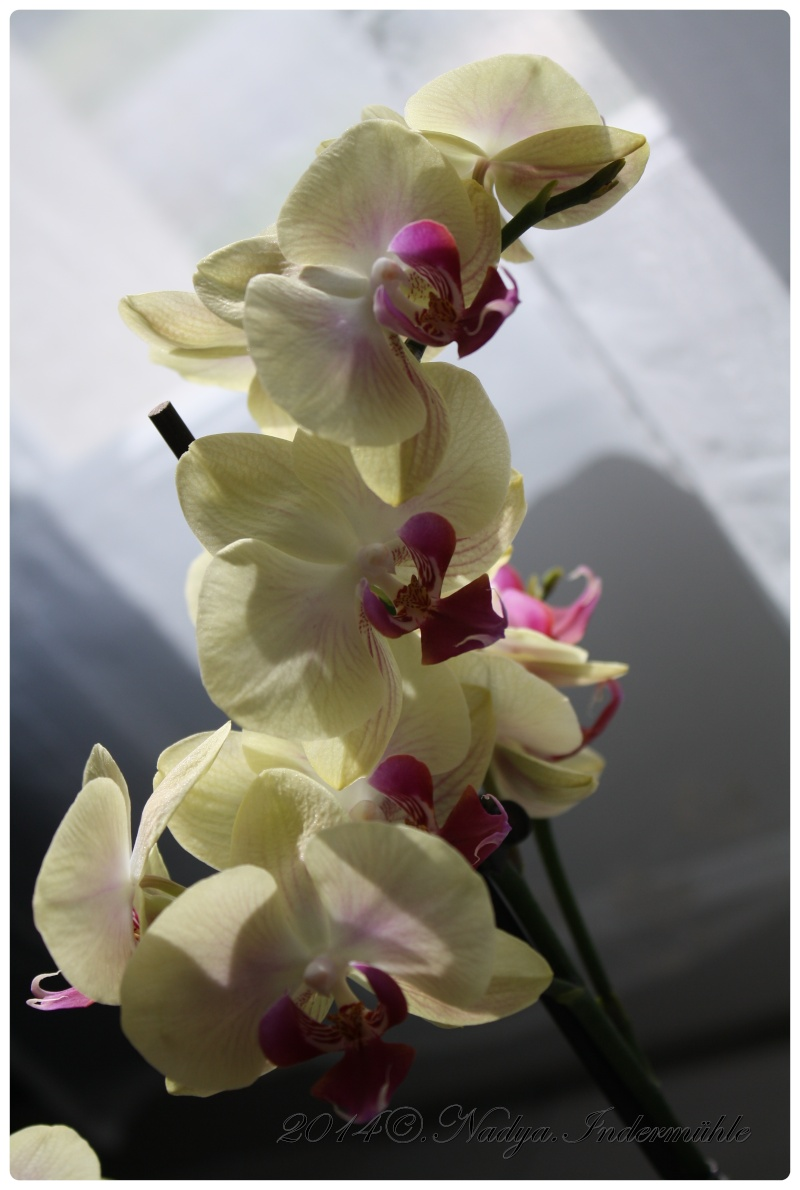 Les Orchidées - Page 2 Cadrer20