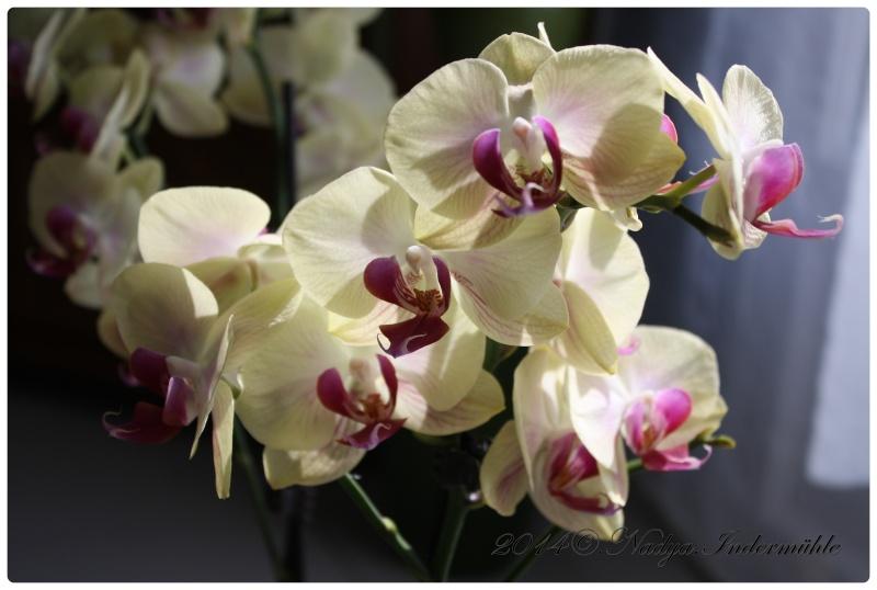 Les Orchidées - Page 2 Cadrer21