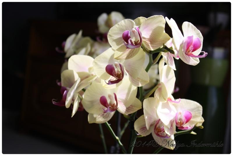 Les Orchidées - Page 2 Cadrer22