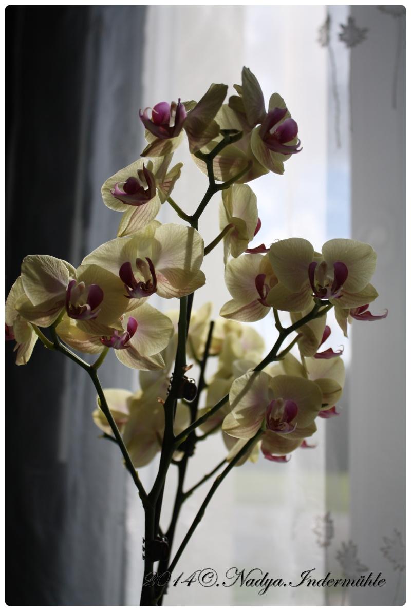Les Orchidées - Page 2 Cadrer24
