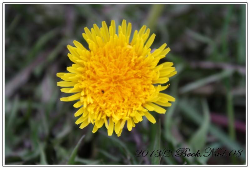 Fleur de pissenlit Cadrer34