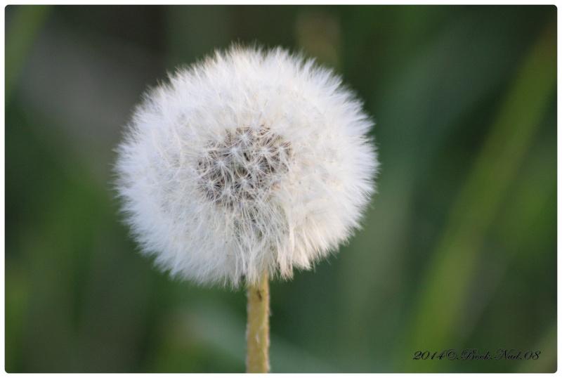 Fleur de pissenlit Cadrer36
