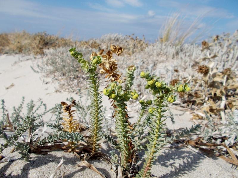 Wolfsmilchgewächse (Euphorbiaceae) - alle Nichtsukkulenten Euphor11