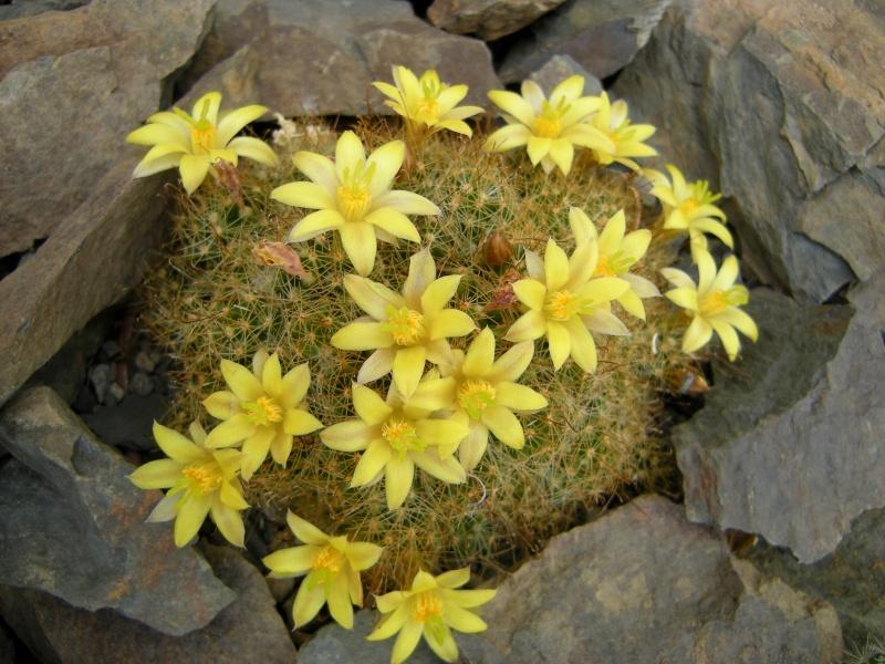Mammillaria surculosa Mamm_s10