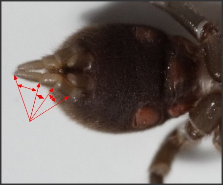 Mygale.[Atypus affinis.] Mygale10