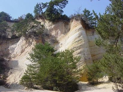Pinus sylvestris - pin sylvestre Dsc00510