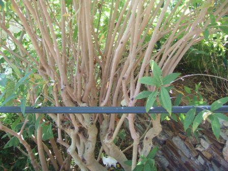 Cestrum x cultum 'Cretan Purple' Dscf4112