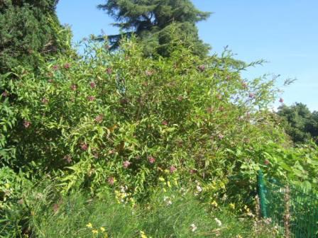 Cestrum x cultum 'Cretan Purple' Dscf4113