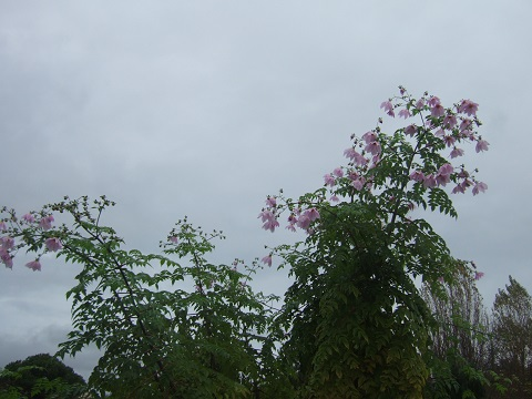 Dahlia imperialis - Page 3 Dscf4317