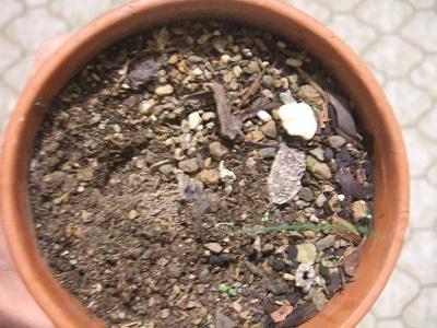 Albuca namaquensis et Albuca spiralis Dscf4321