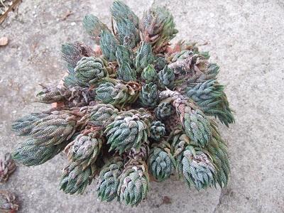 Haworthia reinwardtii Dscf4427