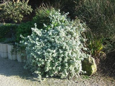Helichrysum petiolare = H. petiolatum Dscf4430