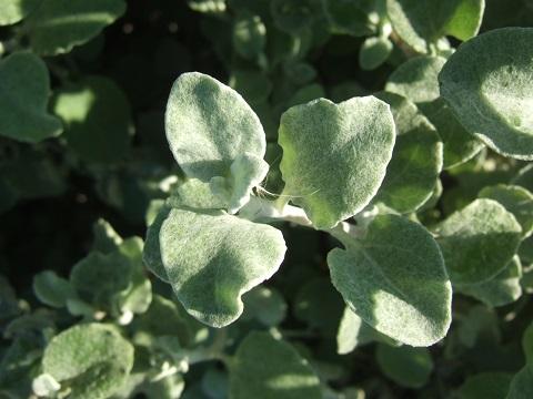 Helichrysum petiolare = H. petiolatum Dscf4431
