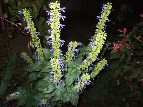 Salvia - les floraisons du moment - Page 12 Dscf4515