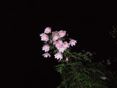 Dahlia imperialis - Page 4 Dscf4517