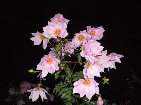Dahlia imperialis - Page 4 Dscf4518