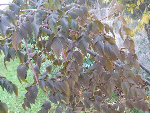 Dahlia imperialis - Page 4 Dscf4526
