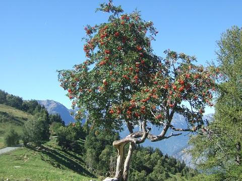 Sorbus aucuparia - sorbier des oiseleurs - cultivars et hybrides Dscf5911