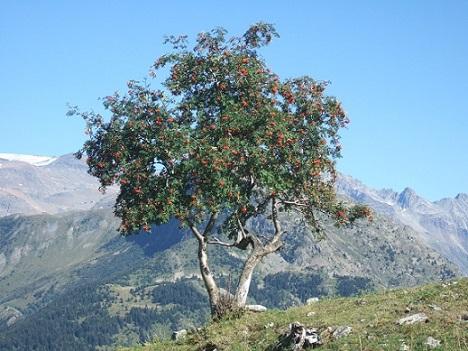 Sorbus aucuparia - sorbier des oiseleurs - cultivars et hybrides Dscf5913