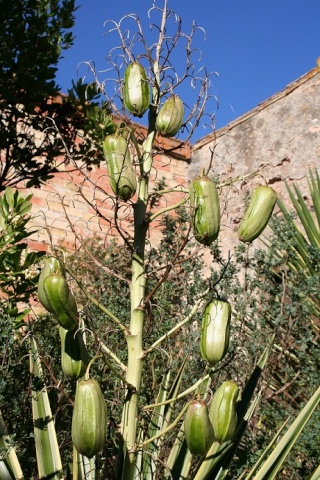 yucca aloifolia - Yucca aloifolia Img_9710