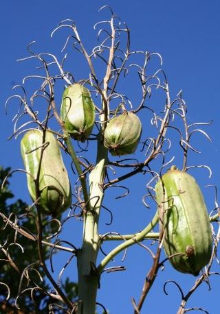 Yucca aloifolia Img_9711