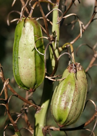 yucca aloifolia - Yucca aloifolia Img_9712