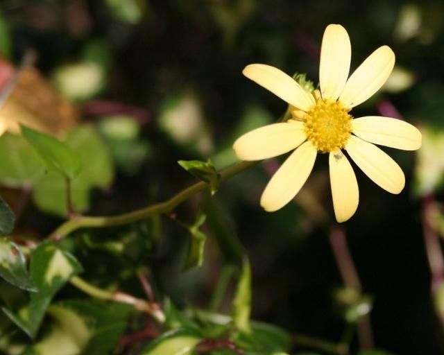 Senecio macroglossum variegata Img_9825