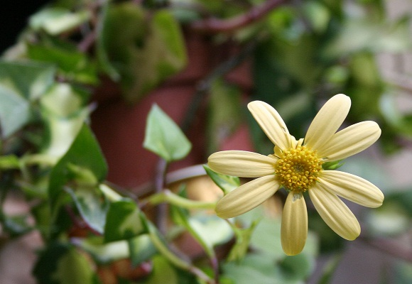 Senecio macroglossum variegata Img_9826