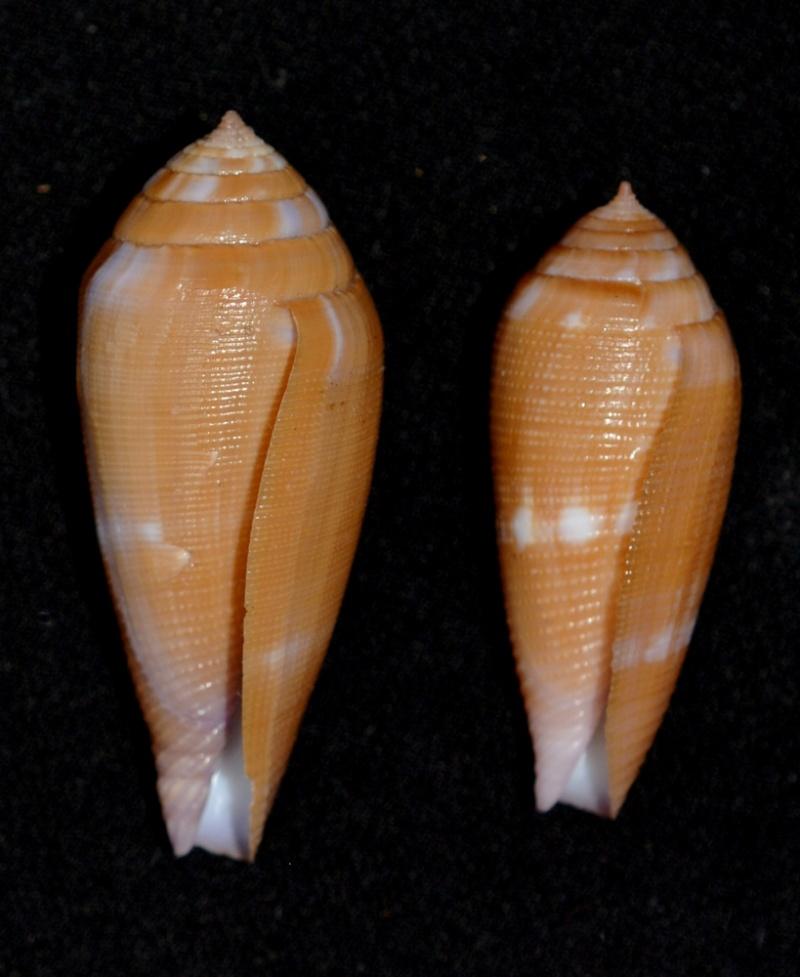 Conus (Leporiconus) pomareae   E Monnier & L Limpalaër, 2014 Aa_com14