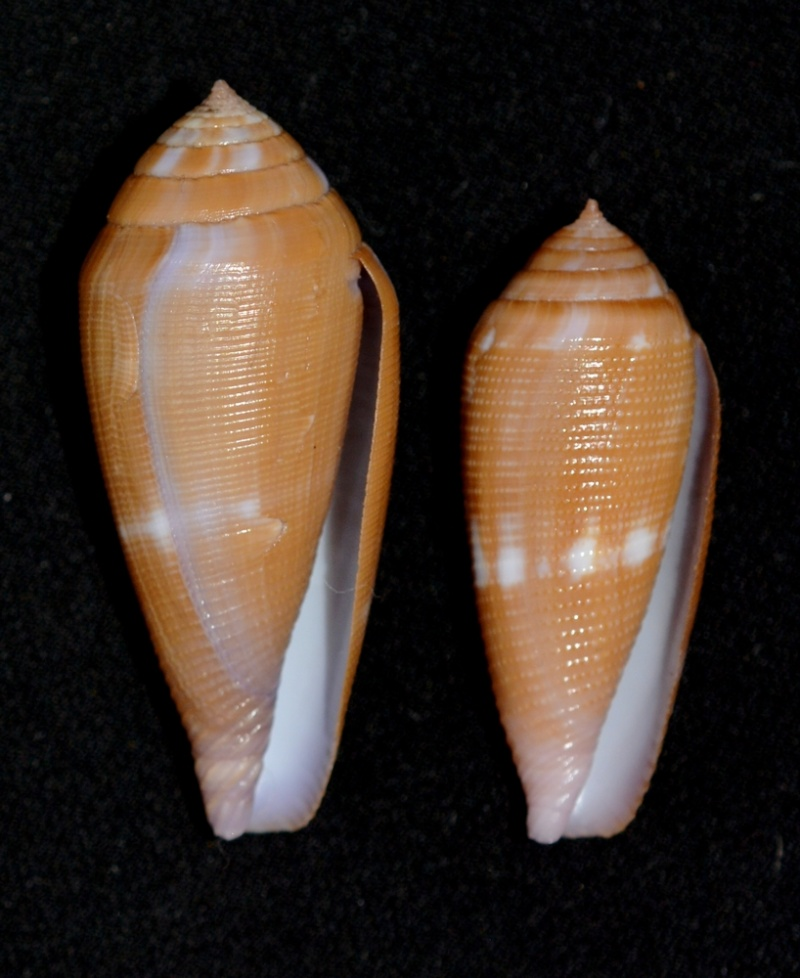Conus (Leporiconus) pomareae   E Monnier & L Limpalaër, 2014 Aa_com15
