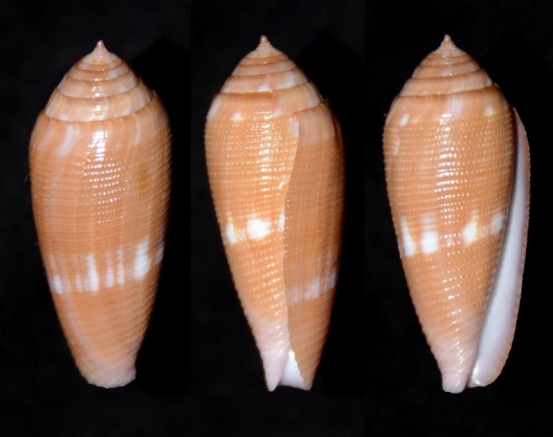 Conus (Leporiconus) pomareae   E Monnier & L Limpalaër, 2014 Tennui10