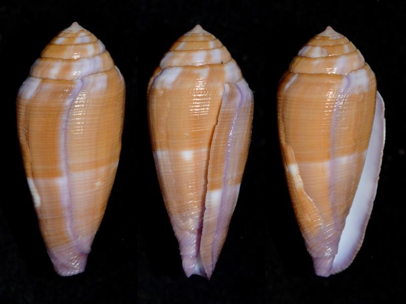 Conus (Leporiconus) pomareae   E Monnier & L Limpalaër, 2014 Tenuis11