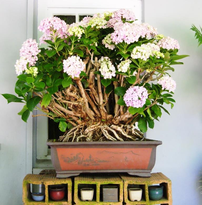 Hydrangea Bonsai from 1999 Hydrae10