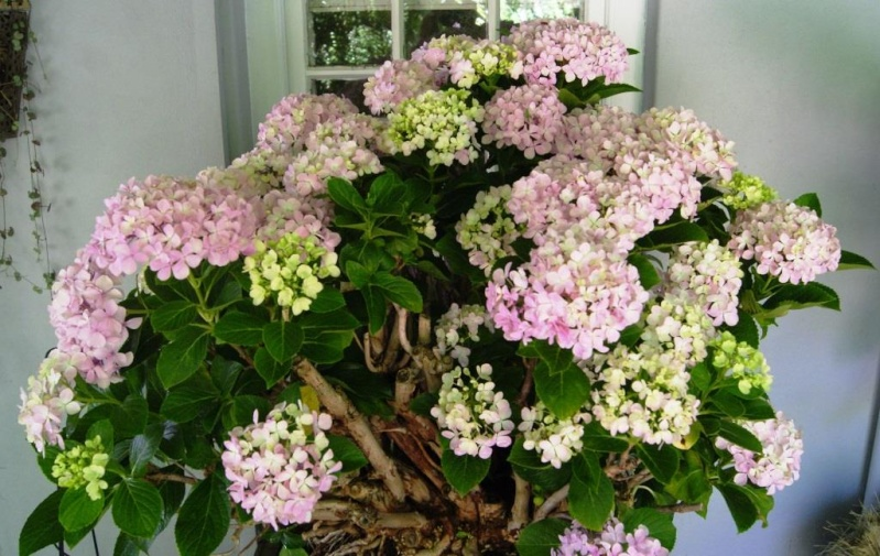 Hydrangea Bonsai from 1999 Hydrae11
