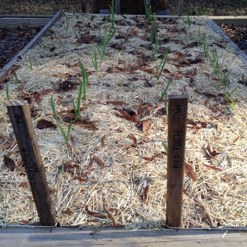 2014 SFG in Brooks, GA  - Page 6 Garlic10