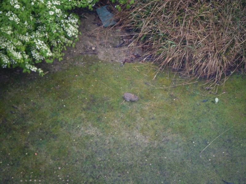 Rats dans les parcs Photo_10