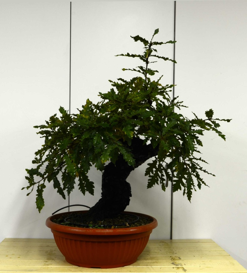 Quercus cerris - Pagina 5 Fronte11